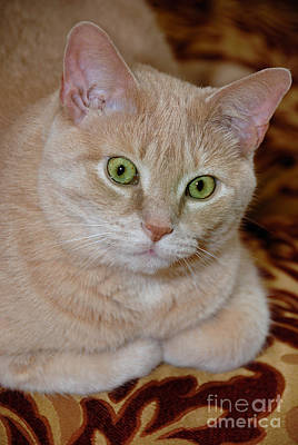 Tabby Cat Photograph - Orange Tabby Cat Poses Royally by Amy Cicconi