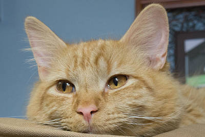 Photograph - Orange Tabby by Guy Whiteley