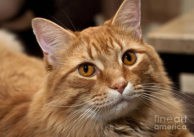 Photograph - Orange Tabby by Lawrence Burry