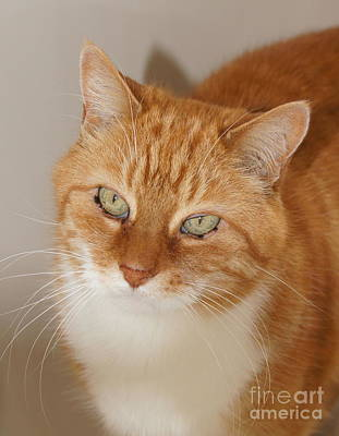 Pet Photograph - Orange Tabby by Megan Cohen