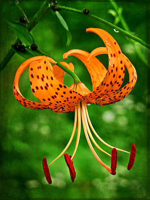 Photograph - Orange Tiger Lily by Carolyn Derstine