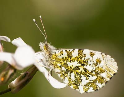 Butterlfy Photograph - Orange Tip Butterfly by Keith Thorburn LRPS