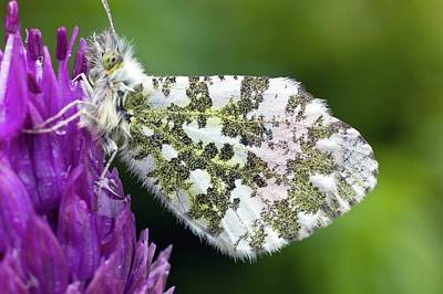Emergence Photograph - Orange Tip by Dr Jeremy Burgess