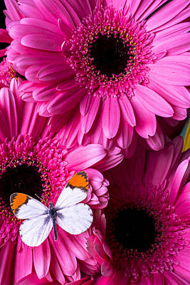 Gerbera Daisy Photograph - Orange Tipped Butterfly by Garry Gay