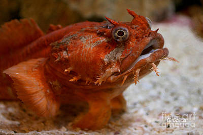 Photograph - Orange Toadfish by E B Schmidt