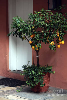 Orange Tree In The Courtyard Art Print by John Rizzuto