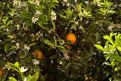 Orange Trees In An Orchard, Santa Print by Panoramic Images
