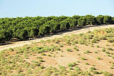 Orange Photograph - Orange Trees Near Bakersfield by Ashley Cooper