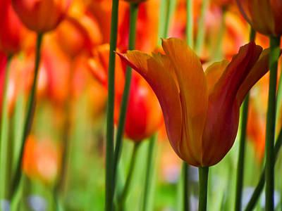 Vibrant Color Photograph - Orange Tulip Garden by Eva Kondzialkiewicz