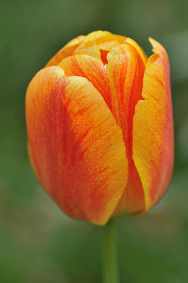 Photograph - Orange Tulip by Matthias Hauser