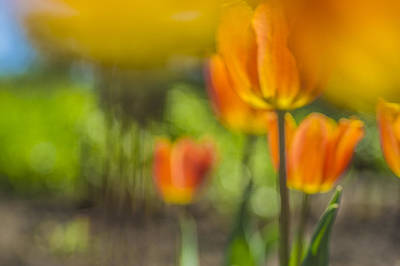 Photograph - Orange Tulip On Fire by Arkady Kunysz