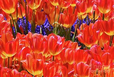 Photograph - Orange Tulips by Allen Beatty