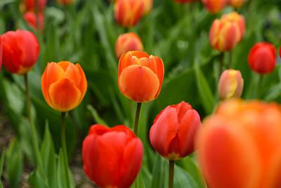 Photograph - Orange Tulips by Brandon Bourdages