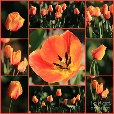 Photograph - Orange Tulips Collage by Carol Groenen