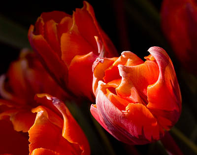 Photograph - Orange Tulips Glowing by Jeff Folger