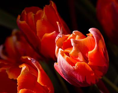 Photograph - Orange Tulips Glowing by Jeff Folger