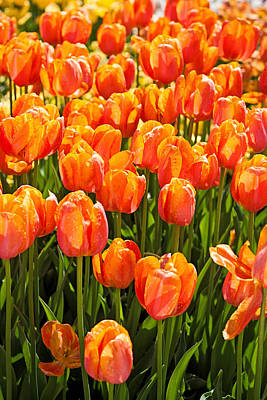 Photograph - Orange Tulips by Michael Porchik