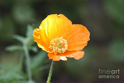 Photograph - Orange Welsh Poppy by Terri Waters
