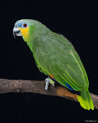 Photograph - Orange-wing Amazon On Black by Avian Resources