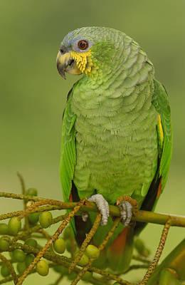 Orange-winged Parrot Ecuador Art Print by Pete Oxford