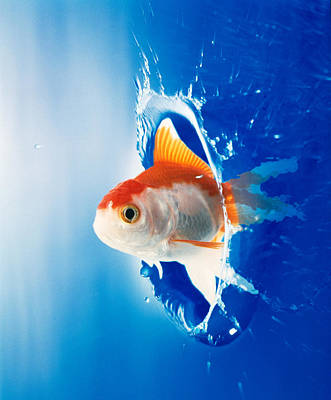 Exuberant Photograph - Orange, Yellow And White Fish Flying by Panoramic Images