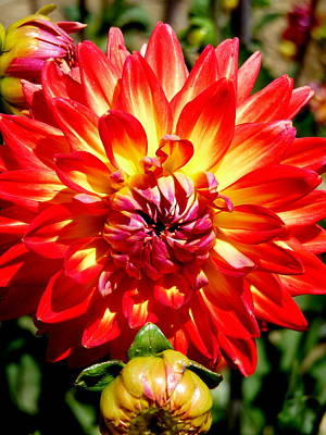Photograph - Orange Yellow Red Dahlia by Jeff Lowe
