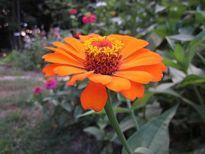 Photograph - Orange Zinnia by MTBobbins Photography