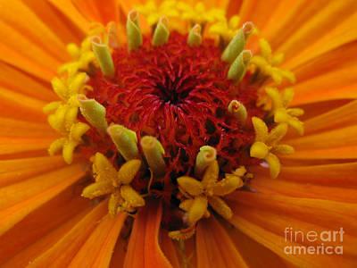 Orange Zinnia. Up Close And Personal Print by Ausra Huntington nee Paulauskaite