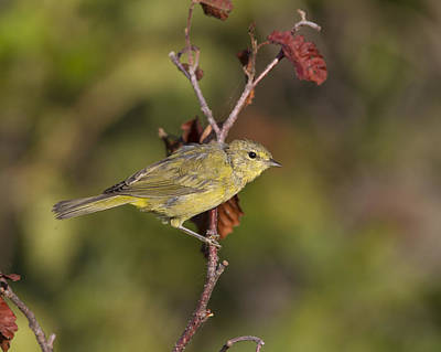 Photograph - Orangecrowned Warbler In A Very Nice Pose. by Doug Lloyd