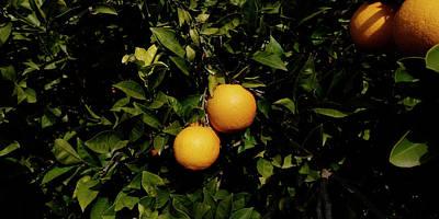 Oranges Growing On Tree, Vinaros Art Print