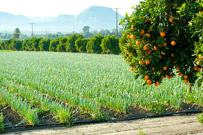 Oranges On A Tree With Onions Crop Art Print by Panoramic Images