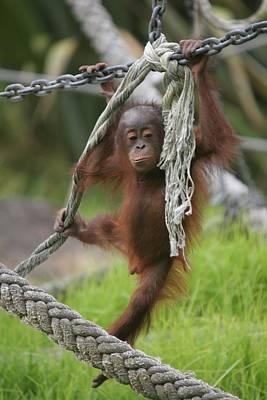 Door Locks And Handles - Orangutan Baby Rope Play by Ian Mcadie