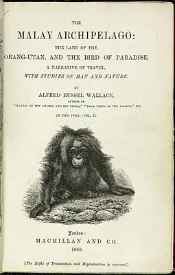 Birds Of Paradise Photograph - Orangutan by British Library
