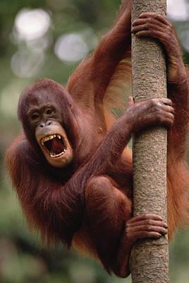 Orangutan Hanging On Tree Art Print by Gerry Ellis