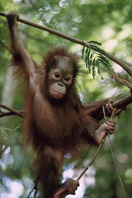 Animal Behaviour Wall Art - Photograph - Orangutan Infant Hanging Borneo by Konrad Wothe