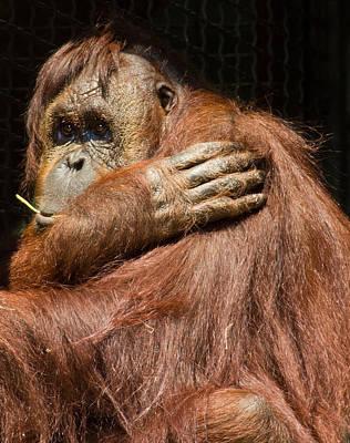 Photograph - Orangutan by Leah Palmer