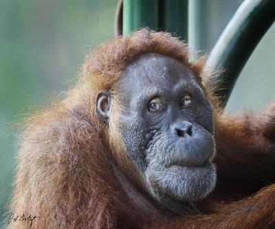 Orangutan Mama Art Print by Phill Doherty