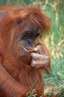 Photograph - Orangutan Pongo Pygmaeus Eating by George D Lepp