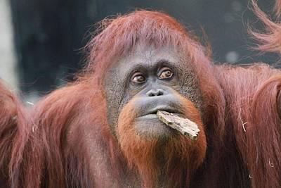 Photograph - Orangutan Portrait by Dan Sproul