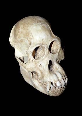 Orangutan Skull Art Print by Dirk Wiersma
