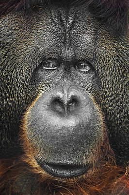 Orangutan Wall Art - Photograph - Orangutan by Svetlana Sewell