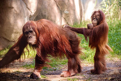 Photograph - Orangutan With Young by John McArthur