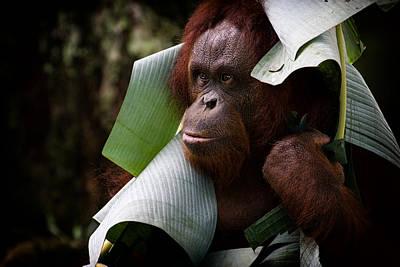 Photograph - Orangutan by Zoe Ferrie