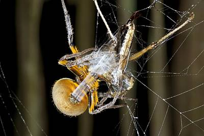 Ecuadorean Fauna Photograph - Orb Weaver Spider And Prey, Ecuador by Science Photo Library