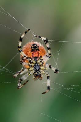Orb Weaver Spider Photograph - Orb Weaver Spider by Colin Varndell