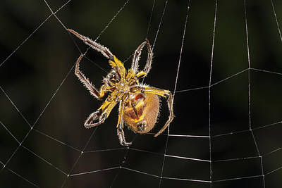 Orb-weaver Spider In Web Panguana Art Print by Konrad Wothe