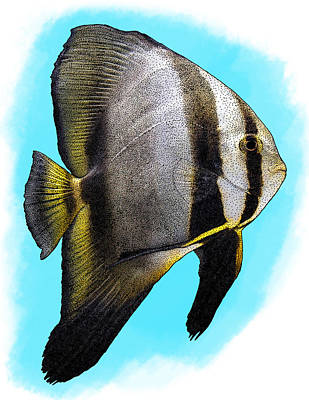 Ephippidae Photograph - Orbicular Batfish, Illustration by Roger Hall