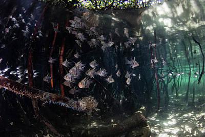 Orbiculate Cardinalfish Swiming Art Print by Ethan Daniels