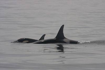 Photograph - Orca - 0003 by S and S Photo