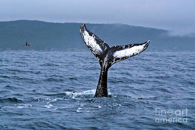 Photograph - Orca Bitemarks On Humpback Tail by Liz Leyden